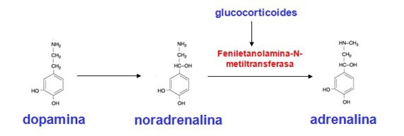 Dopamina, Noradrenalina y Adrenalina
