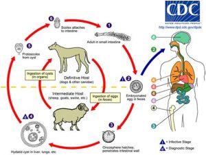 Ciclo vital Equinococcus granulosus