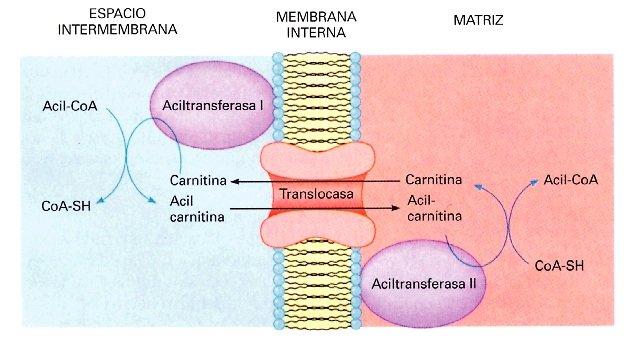 Activación de los ácidos grasos y entrada en la mitocondria