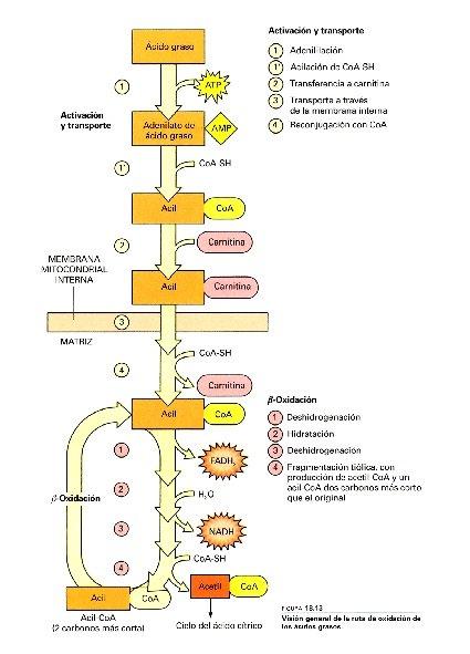visión general del proceso de degradación oxidativa de los ácidos grasos