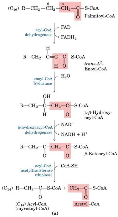 Pasos enzimáticos de la oxidación de ácidos grasos