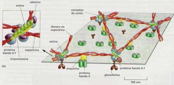 anclaje-del-citoesqueleto