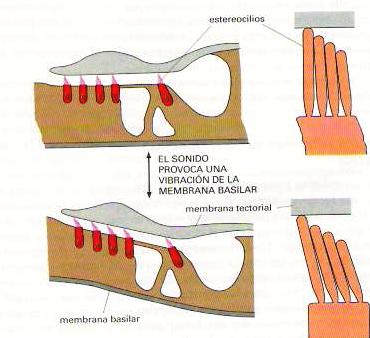 estereocilio membrana basilar