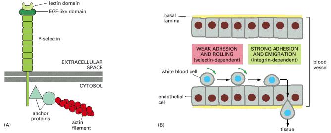 Leucocito - glóbulo blanco