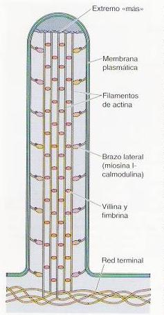 microvellosidades celulares