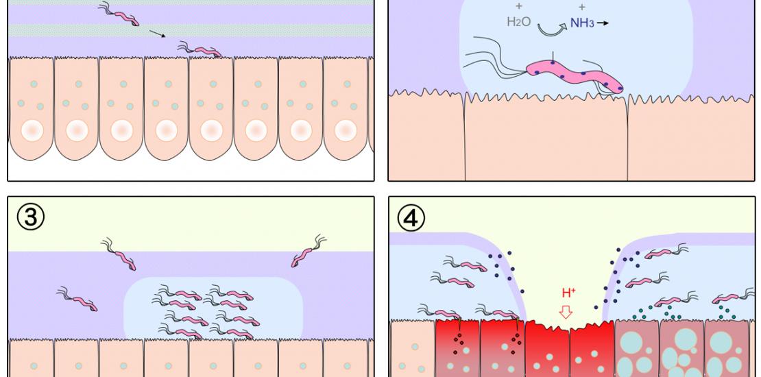 Diagrama Helicobacter Pylori