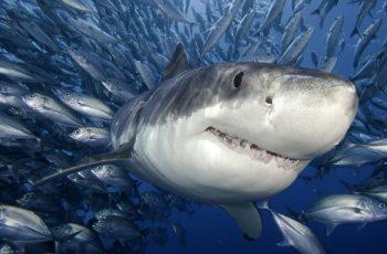 cartilago tiburon
